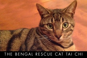 bengal-rescue-cat